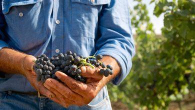 Photo of Sicilien: Vinhøsten 2019 bliver lille men kvaliteten høj